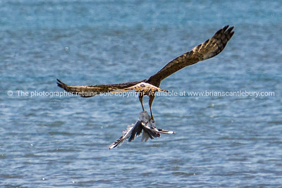 Australasian Harrier, collects a seagull for its diner and flies off across Tauranga harbour. Bird of prey.