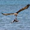 Australasian Harrier with seagull prey over Tauranga harbour.