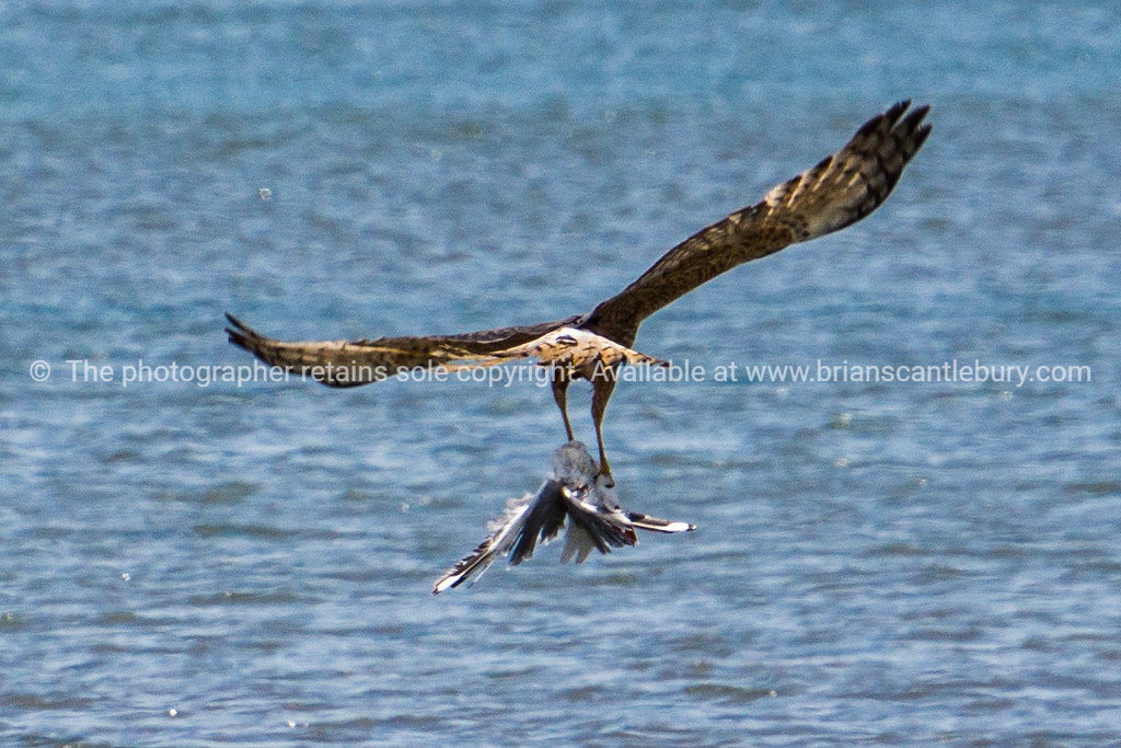 Australasian Harrier with seagull prey over Tauranga harbour.