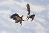 Bald Eagles - Fight Mid Air