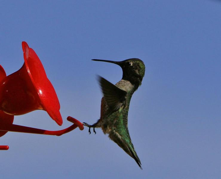 Black Chinned Humingbird