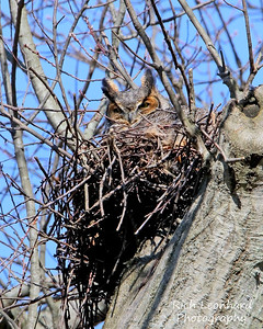 Great Horned Owl sitting on nest, Long Island, NY.