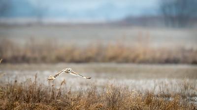 SE owl flying in the brush  7547-