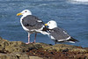 California Sea Gulls
