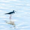 NZ pied stilt wading