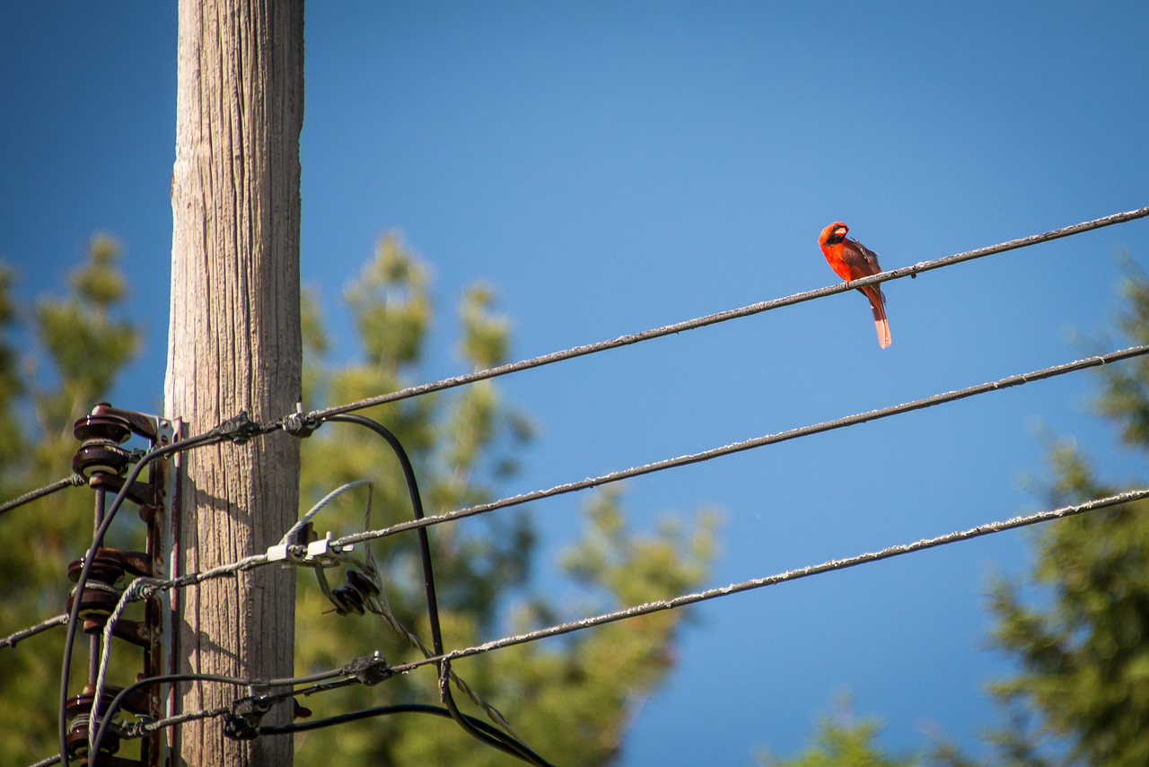 Male Cardinal scratching itself on power lines in backyard - May 2013
