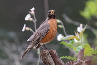 American Robin (Turdus migratorius). Peabody, Ma.