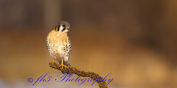 1-27-19 Drove out to Cherry Creek State Park today. Really got a late start for photography but I go lucky and found this Kestrel. I was really surprised that he wasn't as skittish as they  usually  are. Usually as soon as you stop the vehicle they will fly off.