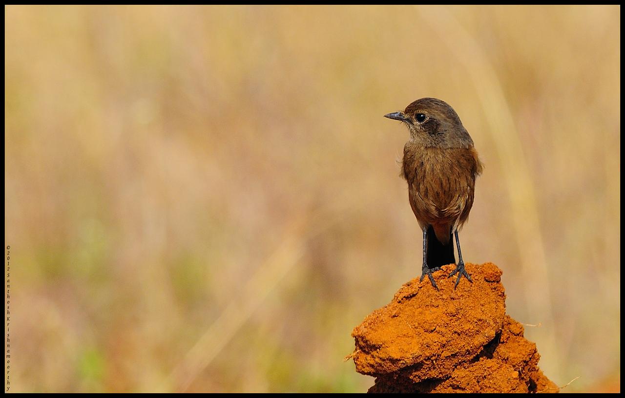 Pied Bushcat (female)