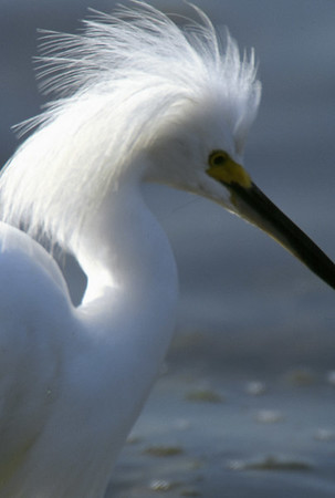 Egret in breeding plumage.  Feather collection almost made these extinct during the hat craze of the 1920's.