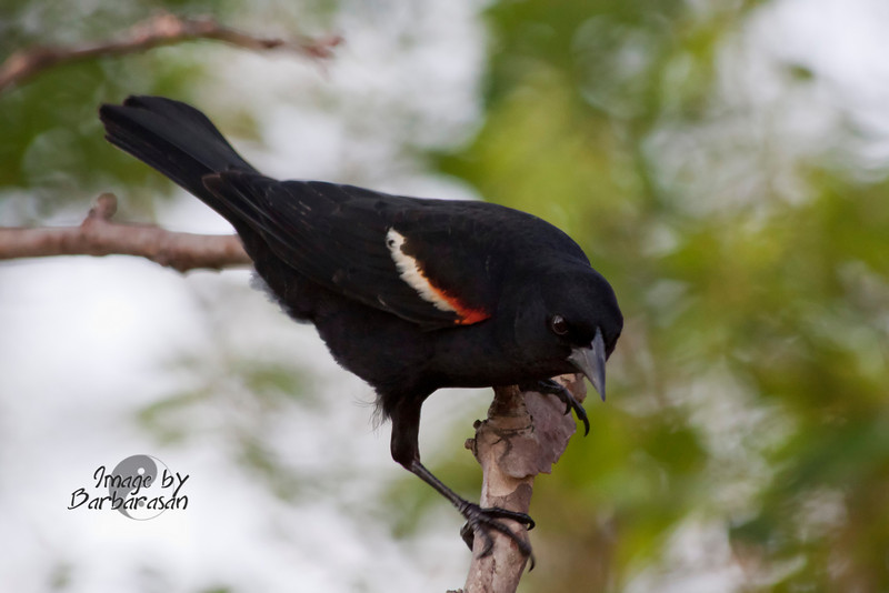 red-winged black bird_IMG_5039