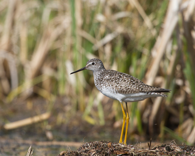 Lesser Yellowlegs<br /> Elk Island National Park <br /> May 20, 2012