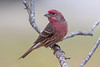House Finch (male) - Haemorhous mexicanus