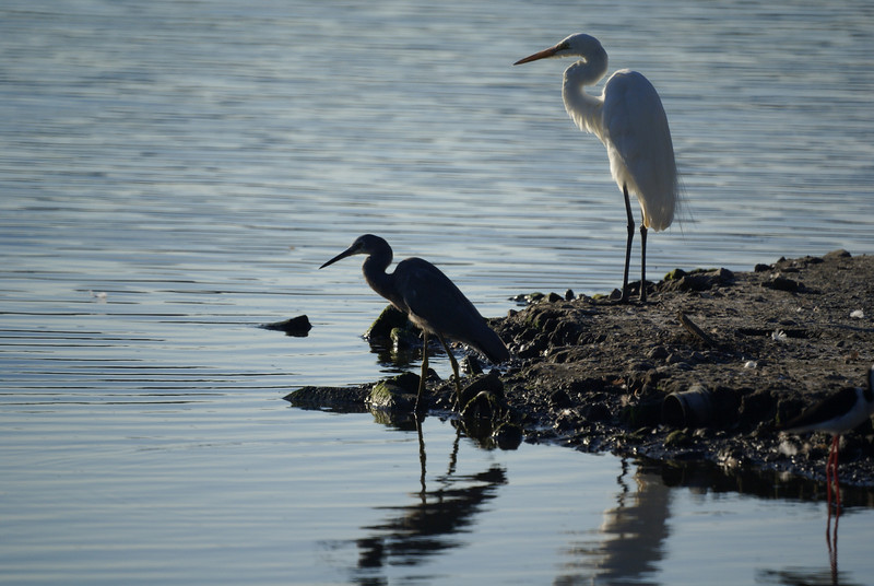 White-faced Heron (Egretta novaehollandiae) and Great Egret (Ardea alba)