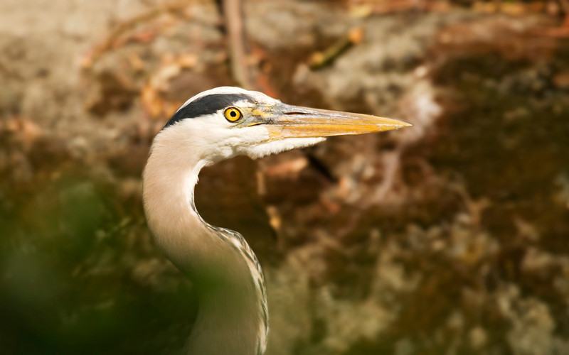A close up of the head and beak of a great blue heron (ardea herodias). Photographed in the wild in the Seattle Arboretun, this shows the sharp eyes and beak of this predator bird.