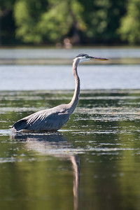 Heron at Nashua River (MA) on 20100702