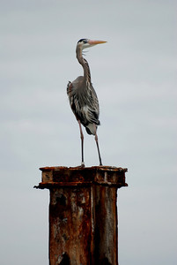 A great blue heron relaxes on top of a rusty piling.