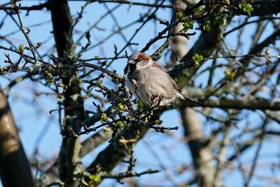 House Sparrow - Passer domesticus, breeding male.