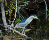 A rather blue, Black-crowned Night Heron, Corkscrew Swamp Audubon Preserve, Florida