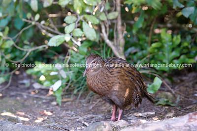 NZ Weka, native flightless bird.