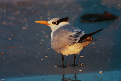 Royal tern at sunset - Indian Shores, FL.  This picture was taken with film from which I had digital copies made.
