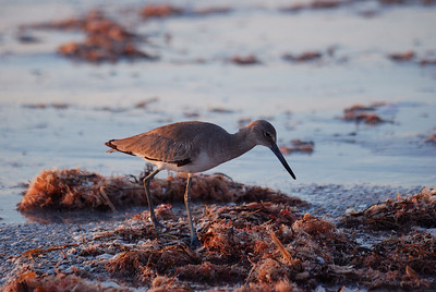 Willet. Reddington Shores, FL