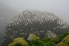 Gannet Nesting Colony at sea mount Cape St Mary's