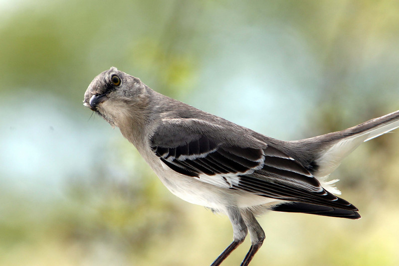 """""""Please leave me and my babies alone."""" Momma Mocking Bird."""
