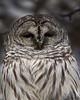 Barred Owl<br /> Edmonton, Alberta
