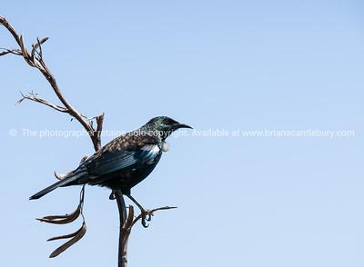 Tui, NZ native bird.