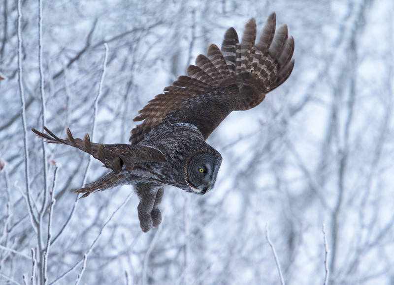 Great Grey Owl<br /> North of Edmonton, Alberta<br /> Christmas Day