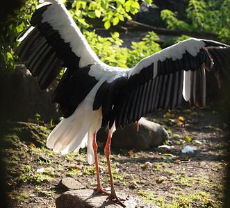White Stork. Photo: Martin Bager.
