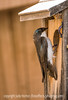 Tree Swallow at Its Nest