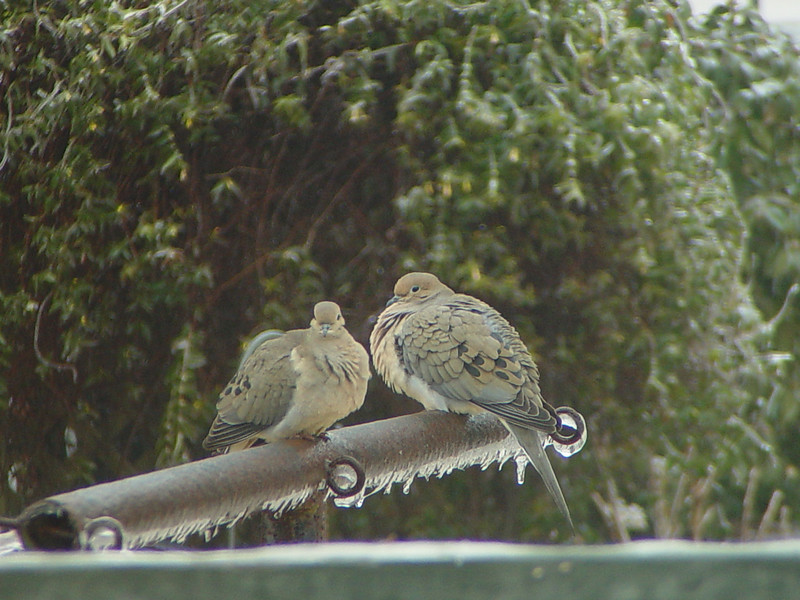 Two doves on an icy clothes line.