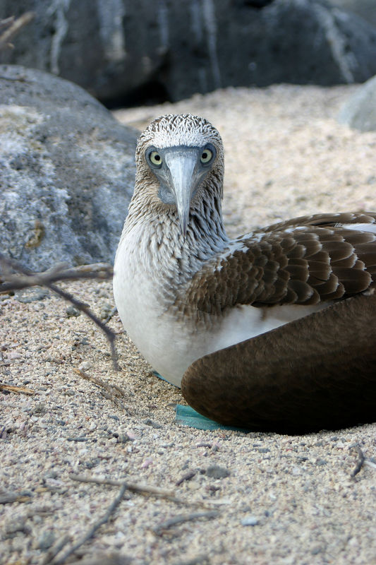 """""""Who are you looking at?""""<br> Blue footed booby (<i>Sula nebouxii</i>)<br>Galapagos Islands<br>"""