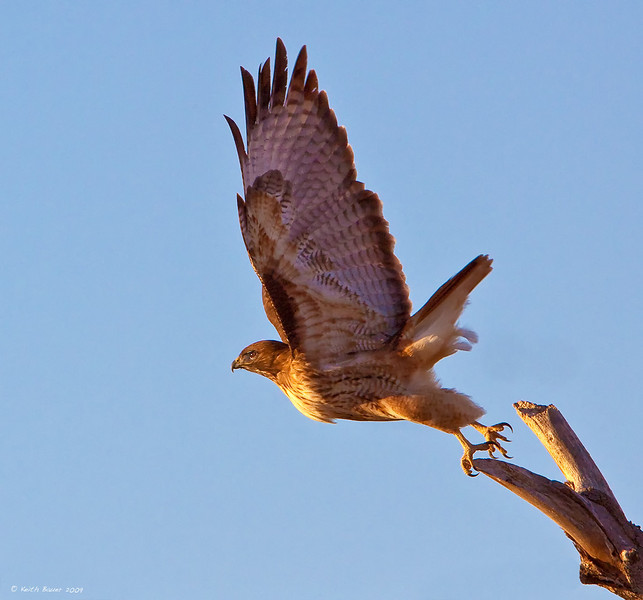 Red Tail Hawk Liftoff Cropped - Bosque