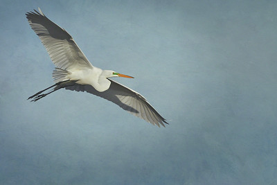 Great White Herron in Flight