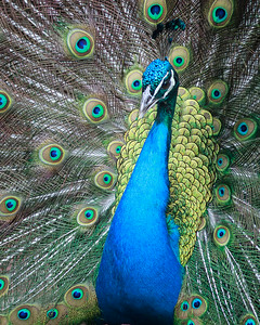 Proud Peacock at St. Louis Zoo