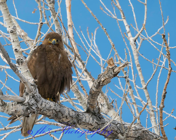 drove through the Rocky Mtn Arsenal today. Found this hawk around the wilderness drive. We were right under him and he looks cross eyed.