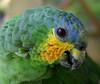 <font size=2>Orange Winged Parrot (<i>Amazona amazonica</i>) Yachana Reserve, Amazon Rainforest, Ecuador </b> </font>