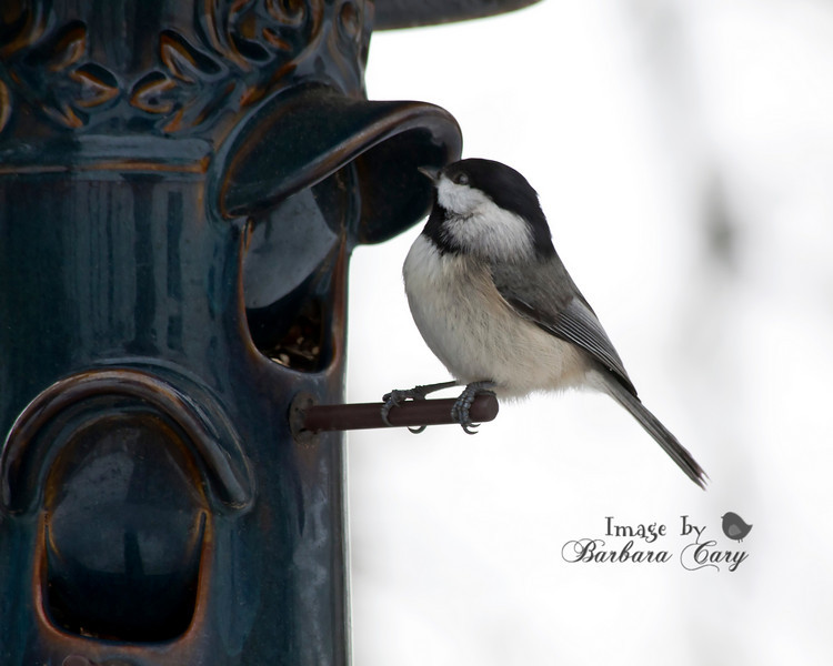 chickadee_Birds 031