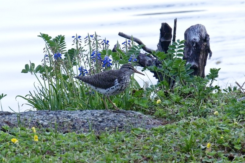 Out for the evening.... Spotted Sandpiper, breeding adult - Actitis macularius.