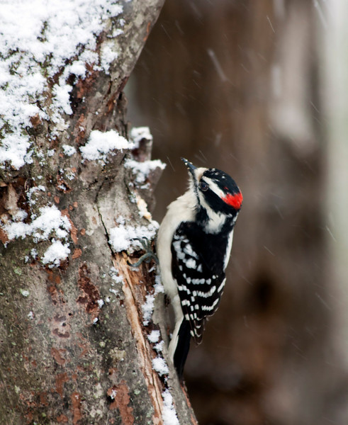 downy woodpecker_IMG_1643