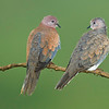 "Pair of doves, Salalah ""Oman"""