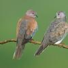 "Pair of doves, Salalah ""Oman"""