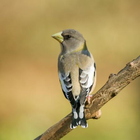 Female Evening Gross Beak