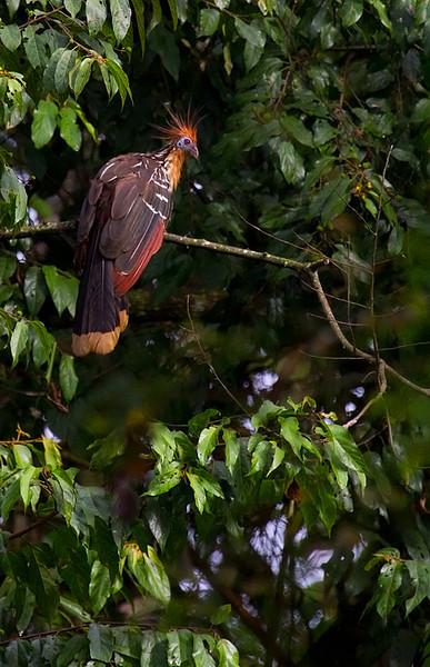 Hoatzin (<i>Opisthocomus hoazin</i>) Amazon, Peru