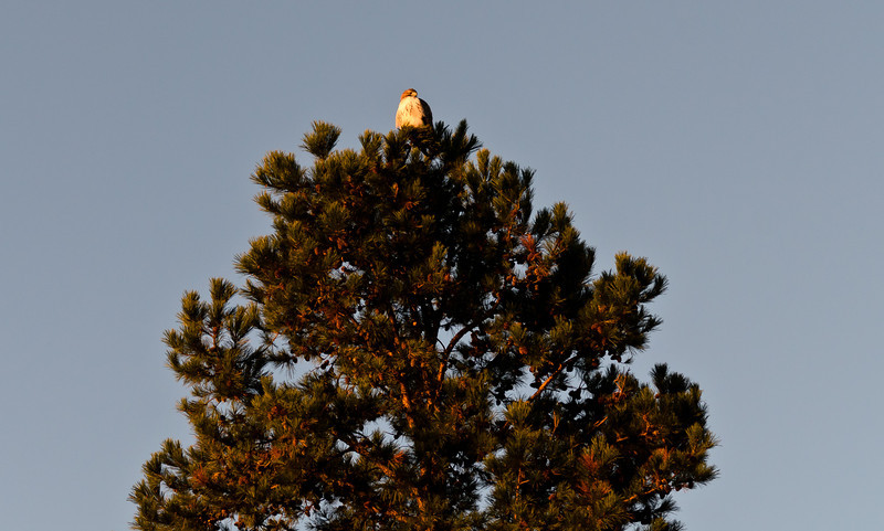 Red Tailed Hawk perched high in a tree at sunrise.