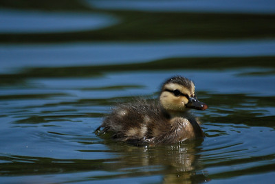 mallard duckling swimming
