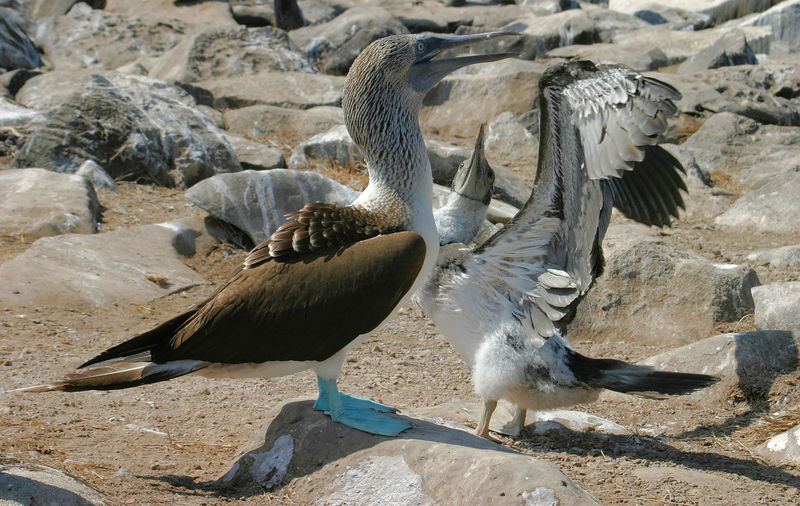 """Blue footed booby with young""<br>Galapagos Islands"